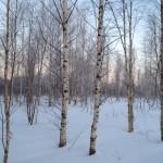 Русские березки в Финской Деревне