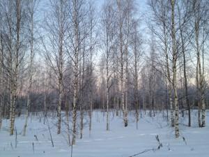 Березовая роща зимой